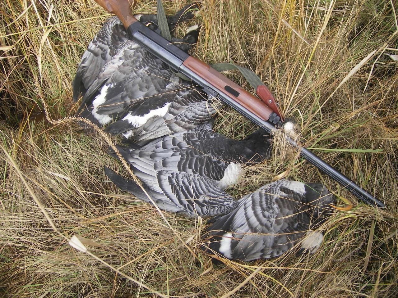 охота на гуся весной на белом море