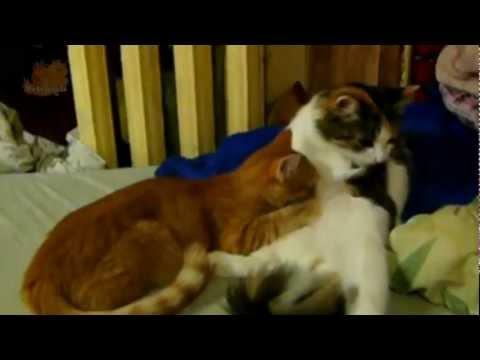 Кошки отжигают. У кошки снова молоко
