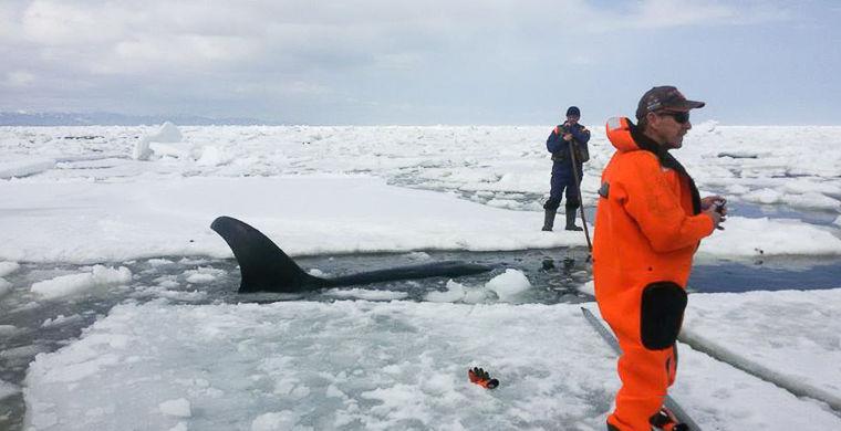 Спасатель рассказал подробности освобождения косатки: «В какой-то момент кит заплакал»