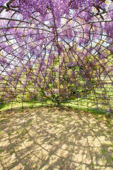 Тоннель глициний. Сад цветов Кавати Фудзи