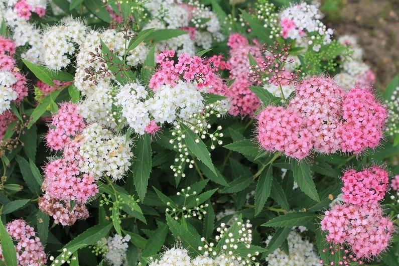 Кустарник спирея – уход и выращивание