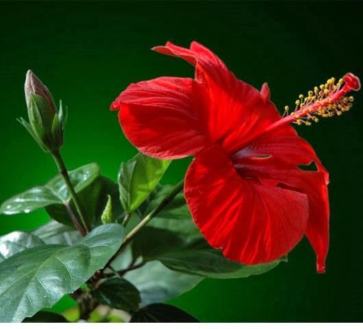 Гибискус или Китайская роза : Опасный цветочек? Приметы твердят, что да, но решать тут только вам