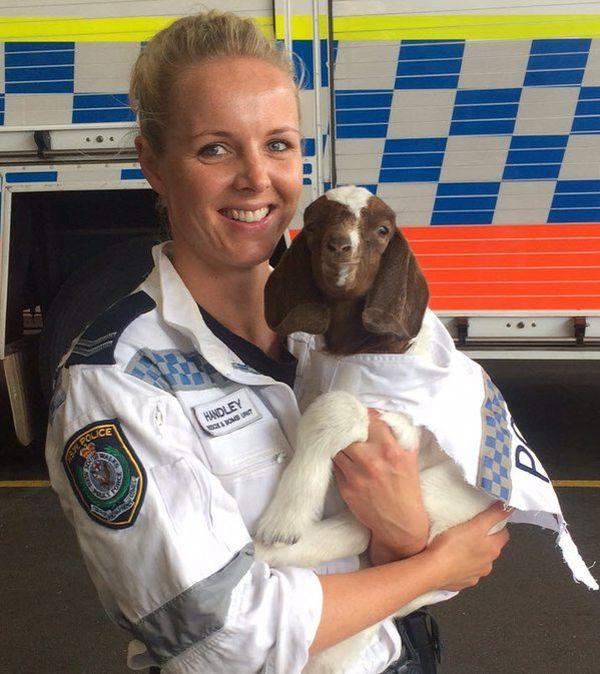 На службу в полицию Австралии поступил козел