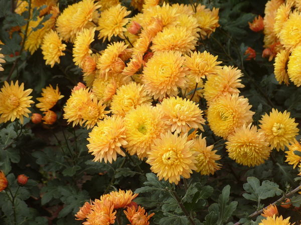 Хризантема сорт Янтарь