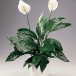 spathiphyllum2