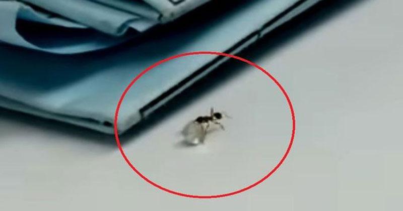 Наглый муравей попытался ута…
