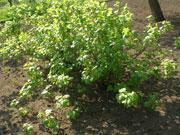 Посадка и уход за насаждениями черной смородины