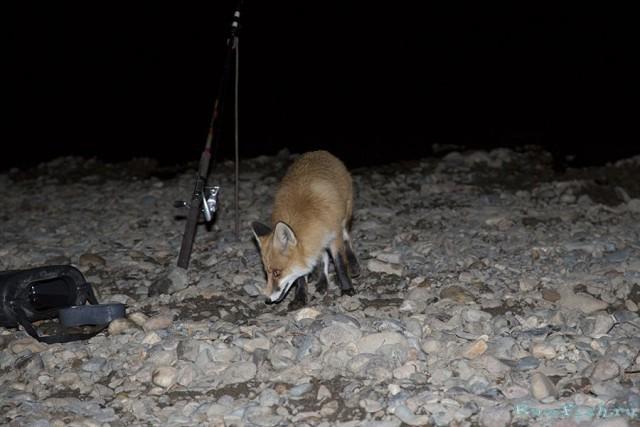 Ночная гостья на рыбалке, рыжая, наглая животные, лиса