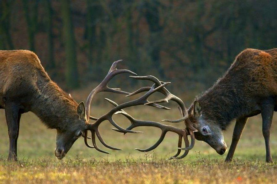 Жестокая последняя битва самцов благородных оленей