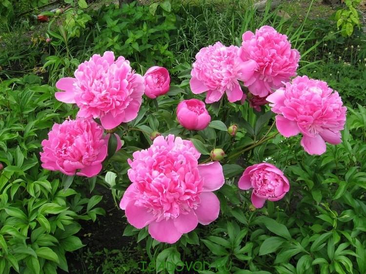 Многолетние цветы моего сада.
