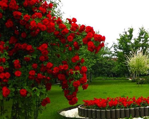 Розы в алматы купить
