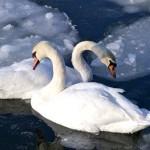 Лебединое царство Алтайского края