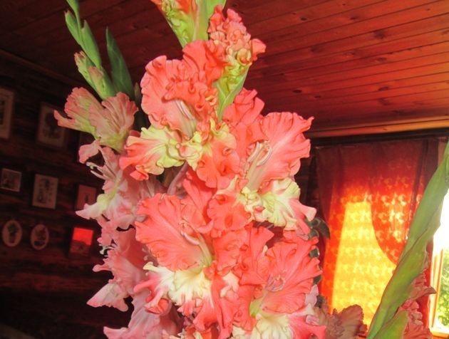 какое удобрение обожают гладиолусы