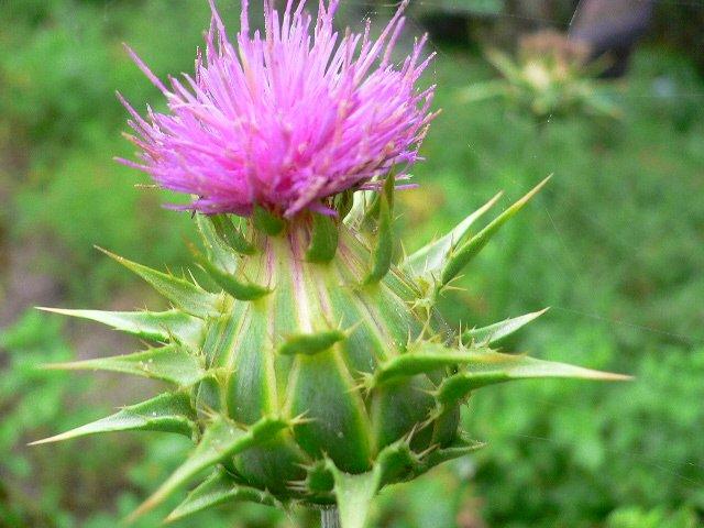 Лечебные свойства травы расторопша