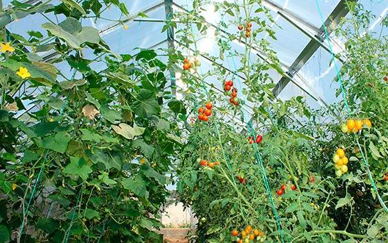 Можно ли сажать в одну теплицу огурцы и помидоры?