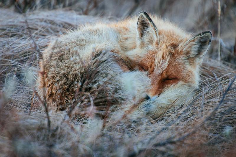 Горный инженер Иван Кислов в свободное время фотографирует лис за полярным кругом лисы, россия, фото, чукотка