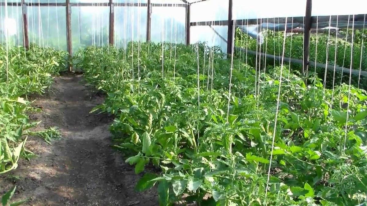 Как подвязывать помидоры в теплице