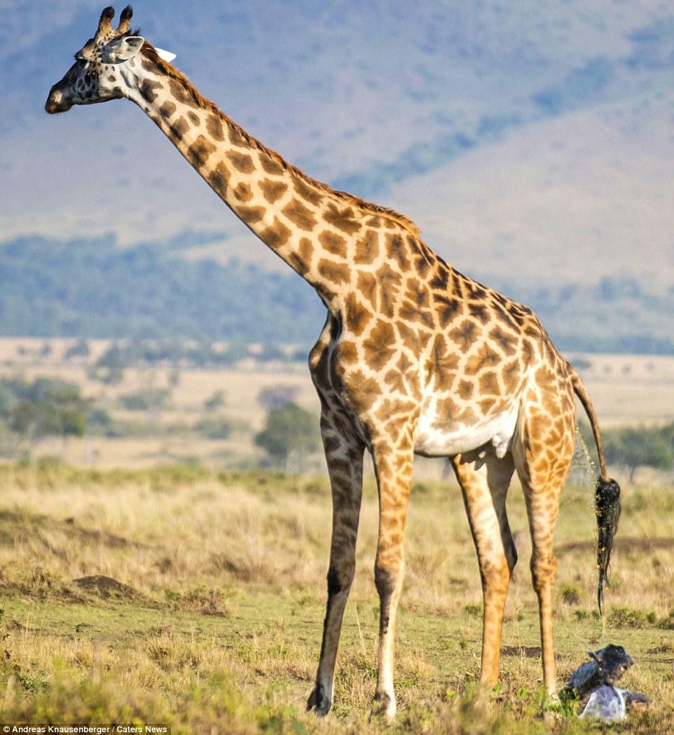 Появление на свет жирафа живность, роды, фото