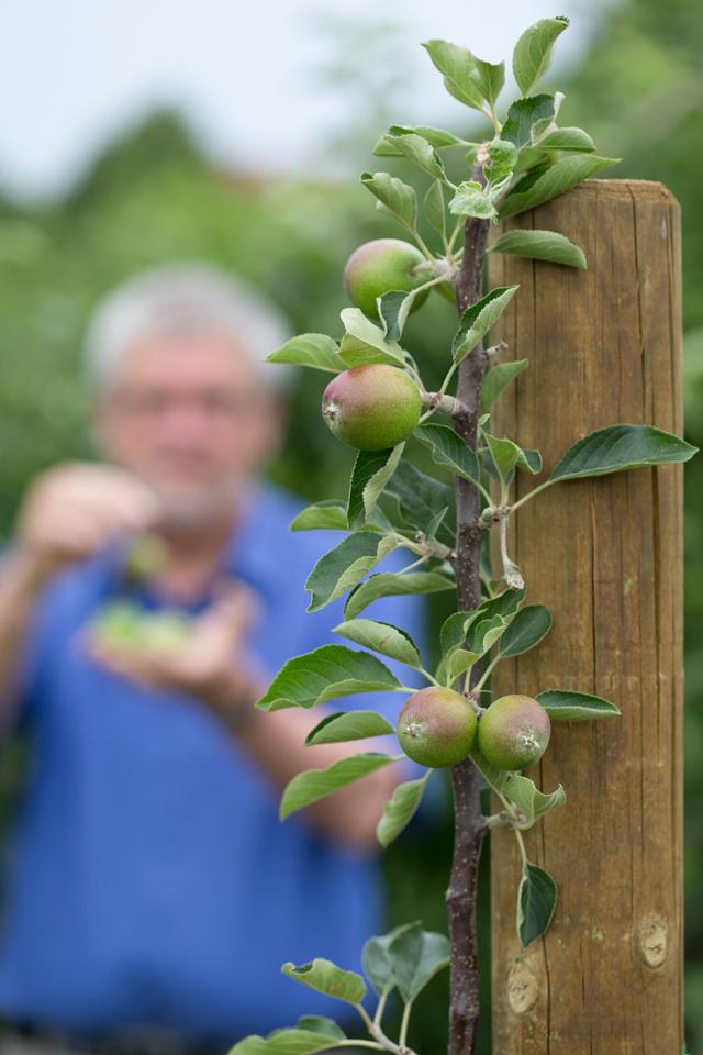 Всегда с яблоками. Как добивались ежегодного плодоношения 100 лет назад