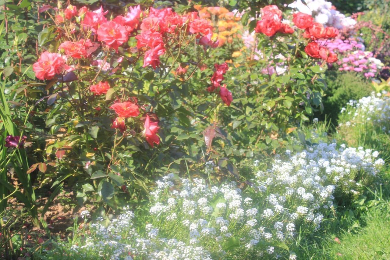 Что сажать рядом с розой 29