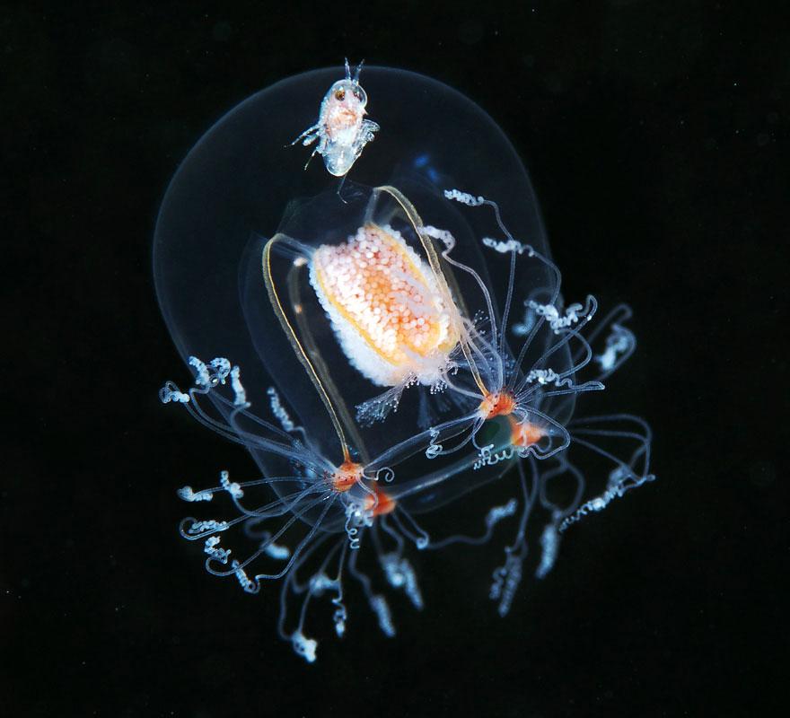 Медуза Бугенвиллия