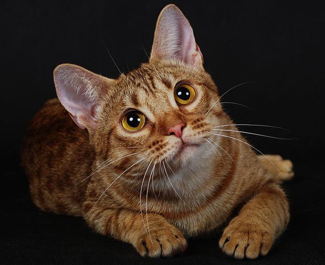 фото кошек породы британской