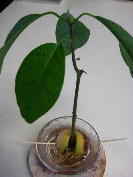 Выращиваем авокадо из косточки