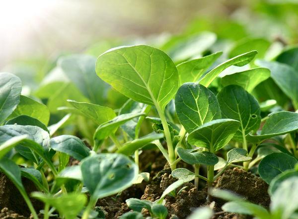 Даже если семечко взошло, оно не обязательно даст полноценное и здоровое растение