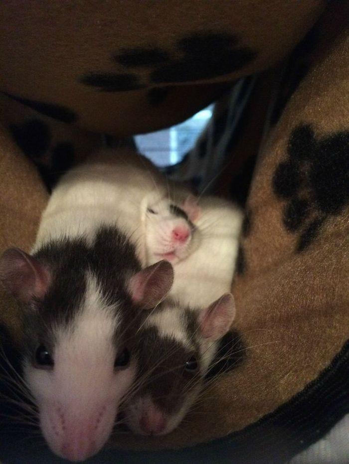 Они даже не любят обниматься животные, крыса, милота, позитив