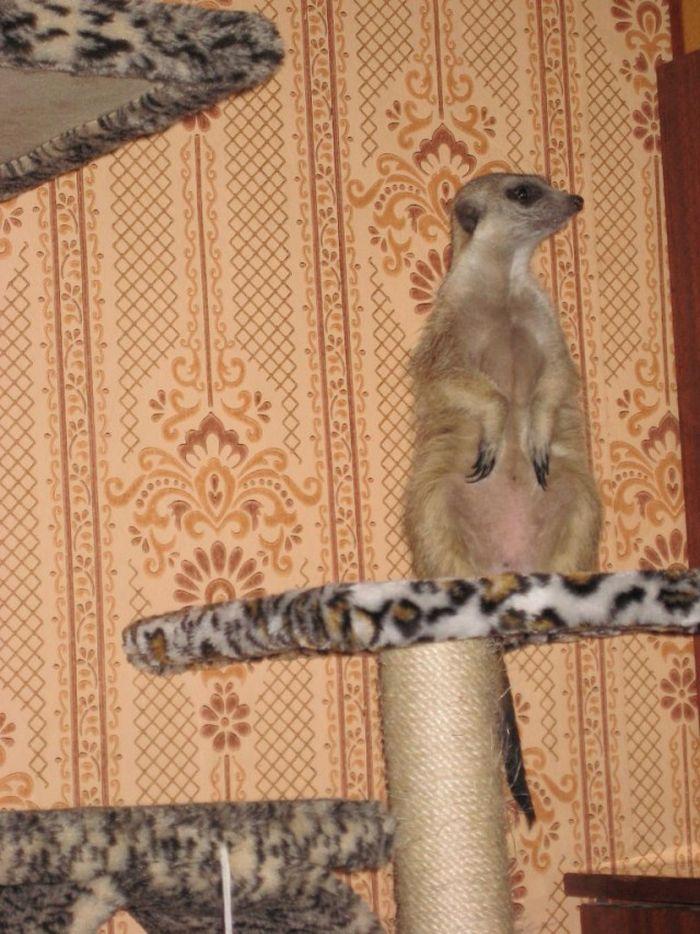 Сурикаты в роли домашних животных животные, сурикаты