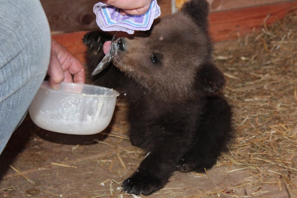 Хэппи-энд: Спасенному от гибели медвежонку нашли новый дом