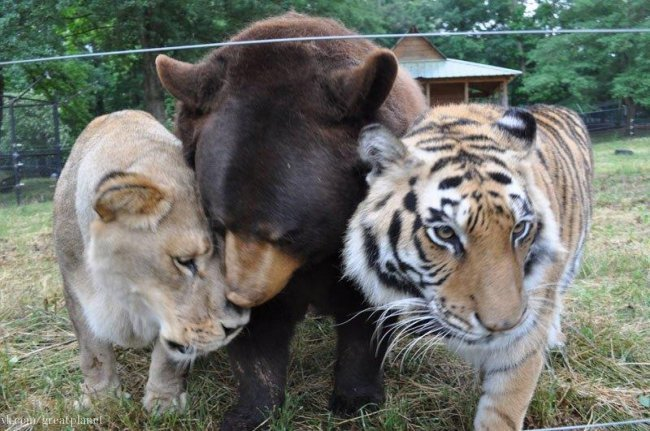 BLT – это единственное в мире трио, состоящее из медведя, льва и тигра