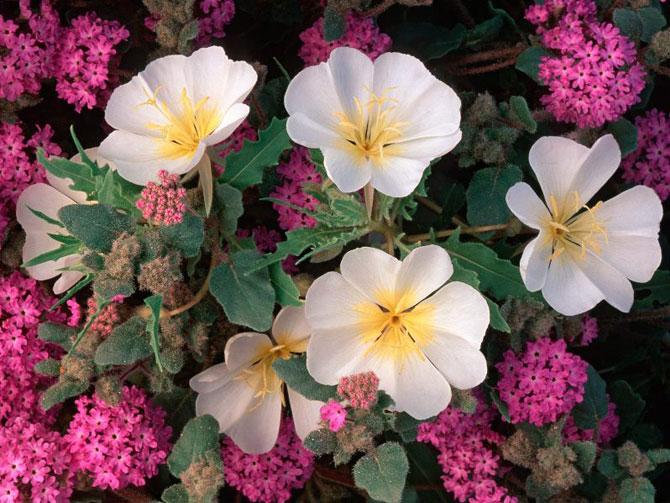 Цветущая пустыня Анза Боррего в Калифорнии