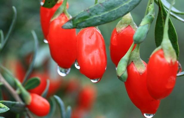 Чудесные свойства ягоды годж…