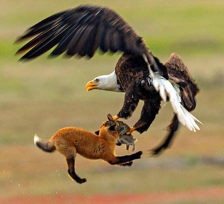 Как орел у лисы кролика забрал. Фотоистория