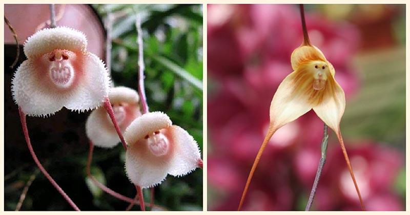 Обезьянья орхидея — пожалуй, самый необычный из всех цветков