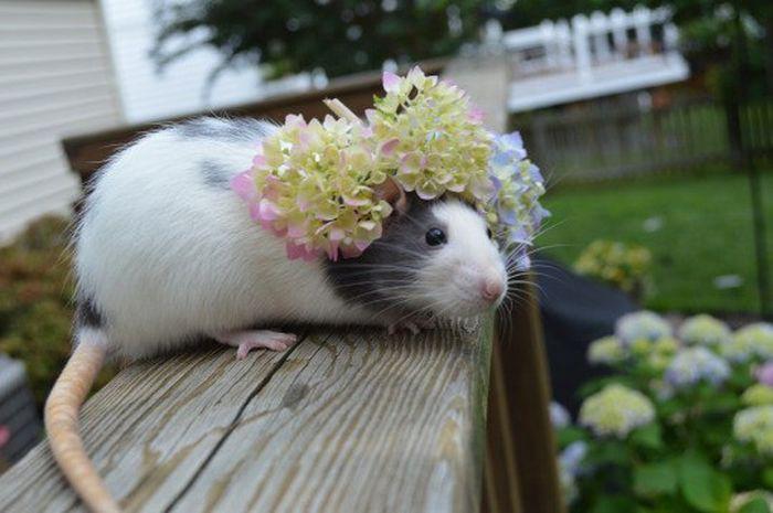 Они сделают себе корону из самых красивых цветов и будут выглядеть лучше, чем вы животные, крыса, милота, позитив