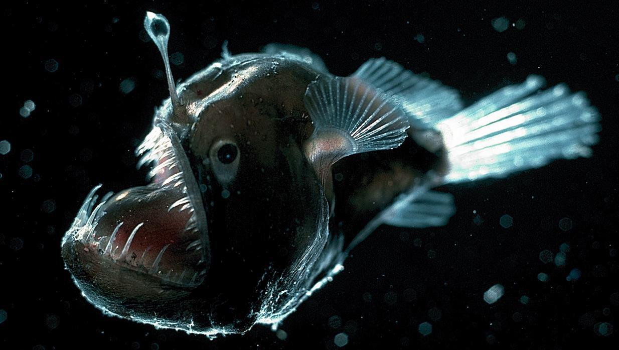 2. Меланоцет Джонсона (Humpback anglerfish) животные, факты