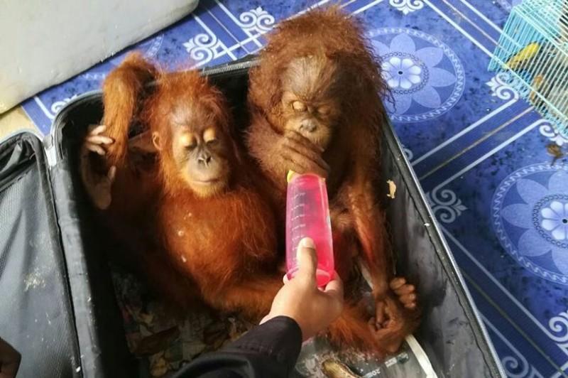 В Таиланде спасли двух детенышей орангутана, которых контрабандист перевозил в чемодане