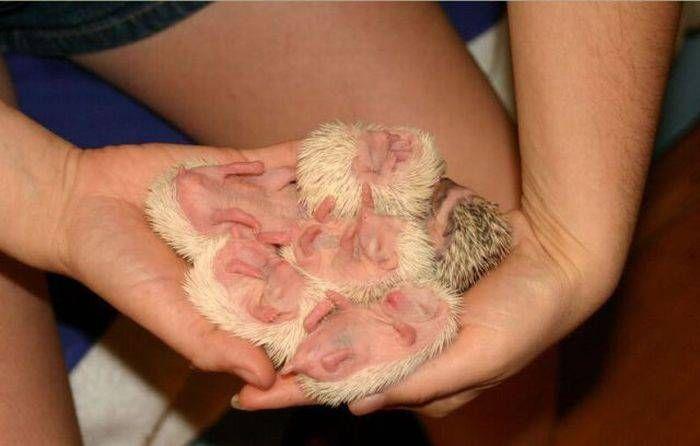 Рождение ежиков (51 фото)