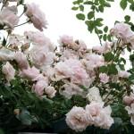 "Роза ""New Dawn"" куст"
