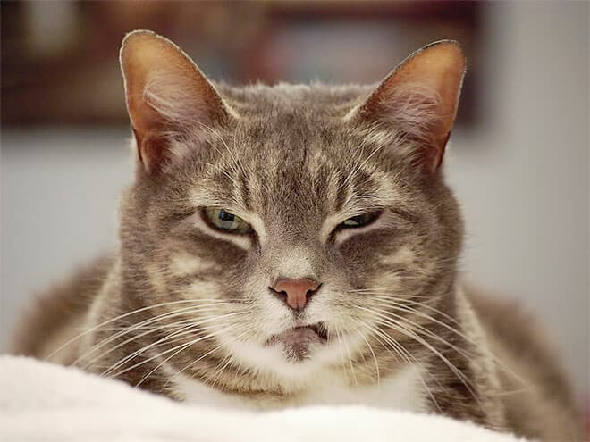 «Надоело все!»: 10 фотографий котиков, которых достали