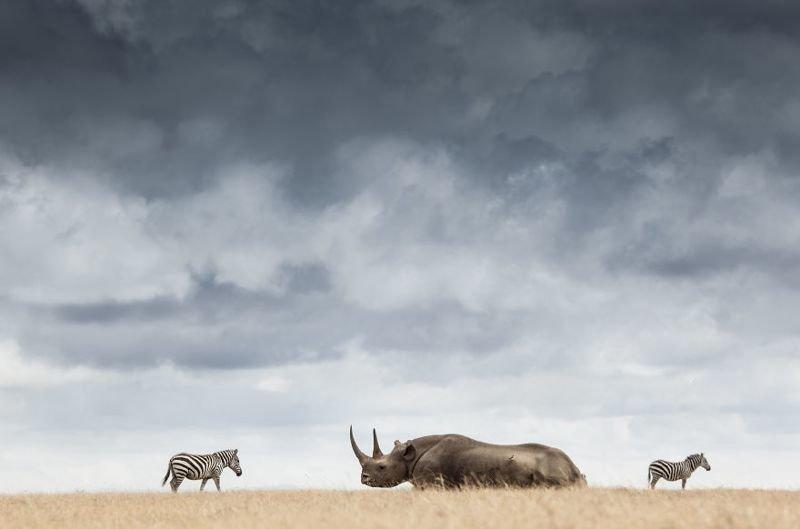 Момент встречи находящегося под угрозой исчезновения черного носорога с зеброй. Рог такого носорога - одна из самых ценных вещей на Земле. Единственный его законный владелец - сам носорог! животные, искусство, планета земля, природа, фото, хрупкость