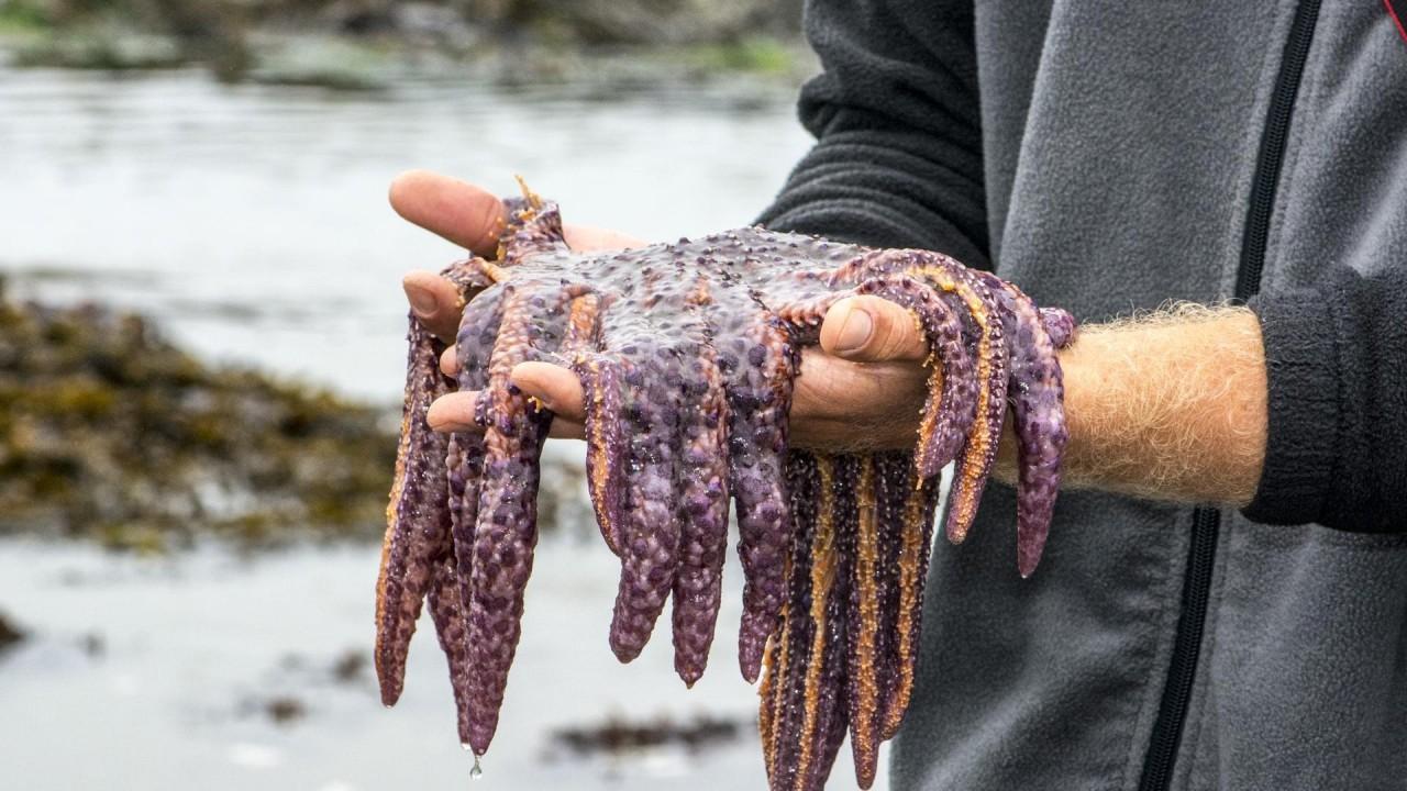 Беспозвоночные мигранты: что стоит за нашествием «морских огурчиков» на Западное побережье США