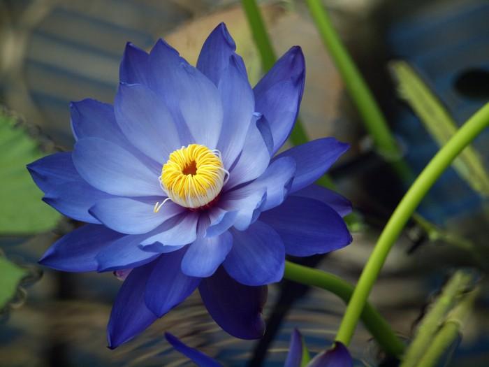 цветы лотоса-03