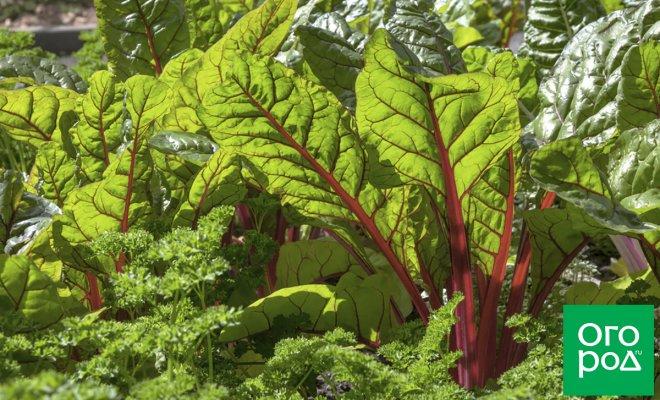 Зачем закапывать свекольную ботву под томатами – секреты томатовода