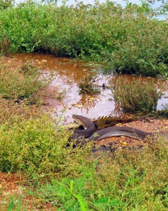 Питон проглотил крокодила или ты не ты когда голоден! крокодил, питон