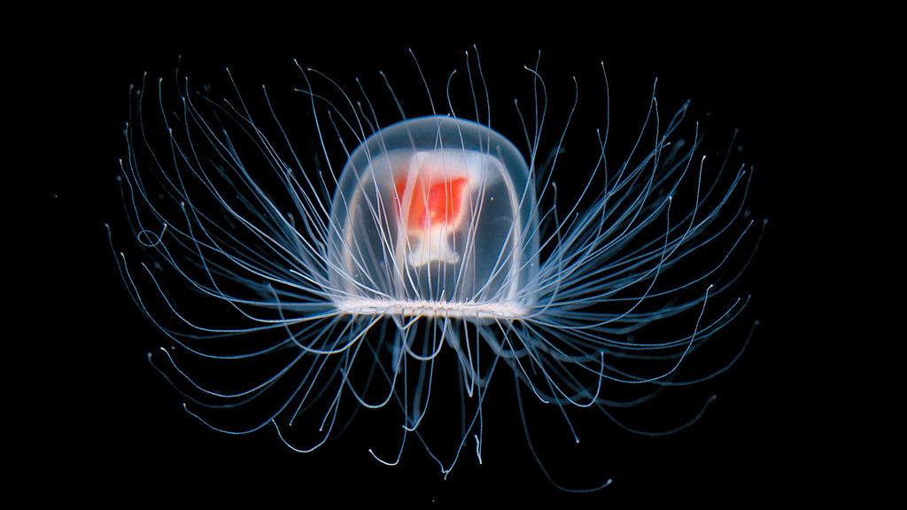 Бессмертная медуза. выживание, животные, наука