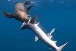 Тюлени стали охотиться на акул