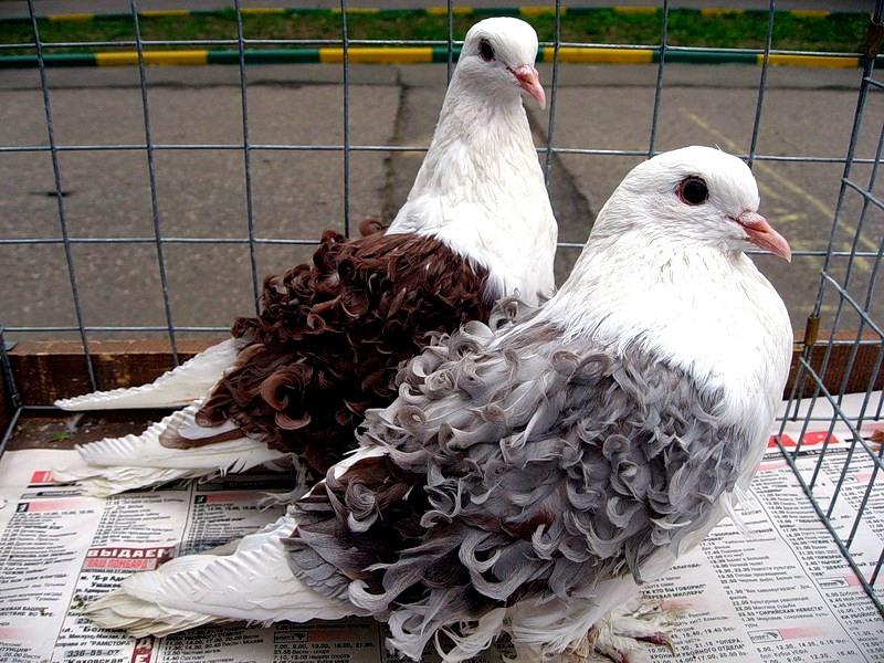 Кудрявые голуби - одна из самых интересных и красивейших пород